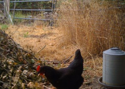 Cleopatra, a hen we raised