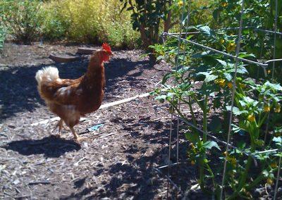 Henrieta, a hen we raised