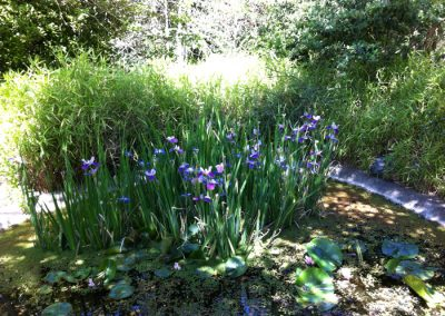 Blooming irises and water lillies in pond
