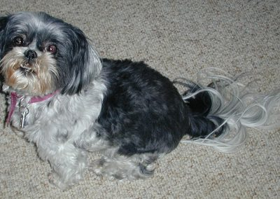 Minnie, our beloved Shih Tzu we rescued in 2001 passed in 2010