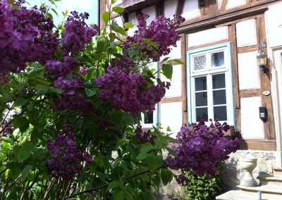 Spring Lilacs in German countryside