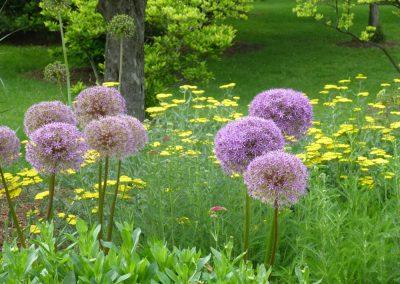 Allium in Humber Arboretium near Toronto, Canada